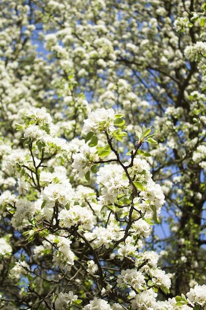 Superfície floral. galhos de árvores de floração branca. localização vertical. fechar-se. Foto Premium