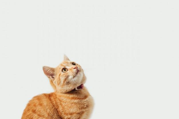 Tabby gatinho gengibre no fundo branco Foto Premium