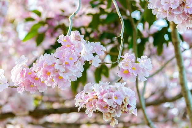 Tabebuia rosea é uma árvore neotropical de flor rosa e céu azul Foto Premium