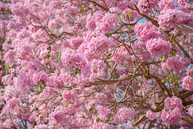 Tabebuia rosea é uma árvore neotropical de flor rosa Foto Premium