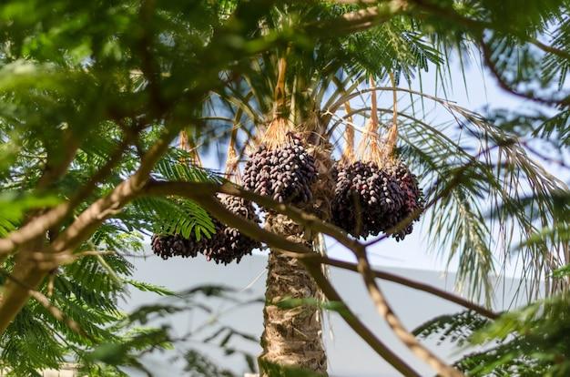 Tamareira com frutas Foto Premium