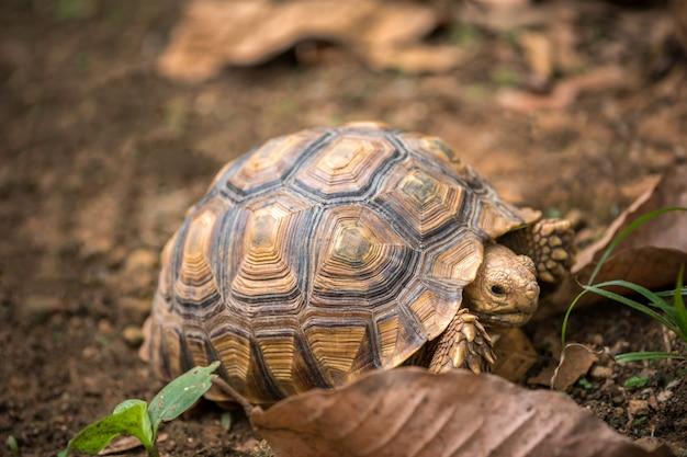 Tartaruga caminha sobre as folhas secas na floresta Foto Premium