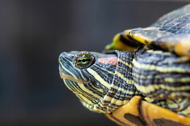 Tartaruga de água doce orelhuda vermelha - trachemys scripta elegans. tartaruga deslizante orelhuda vermelha na luz do sol de verão Foto Premium