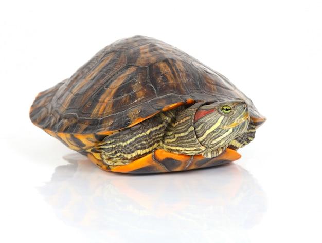 Tartaruga saindo de sua concha Foto gratuita