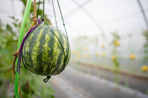Tecnologia para o cultivo de hortaliças em estufas Foto Premium
