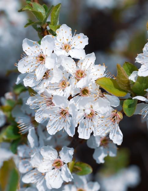 Tempo de primavera. brunch na árvore florescendo com flores brancas. Foto Premium