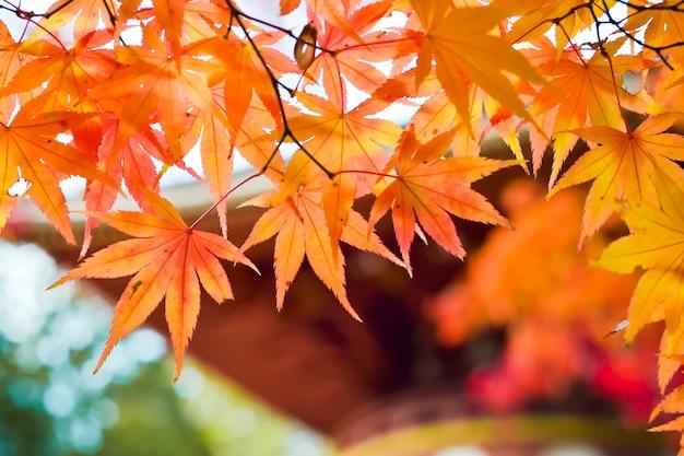 Temporada de outono de árvores e folhas no japão Foto Premium