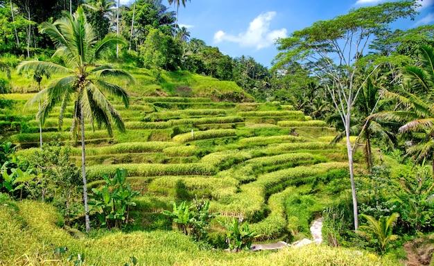 Terraços de arroz em bali Foto Premium