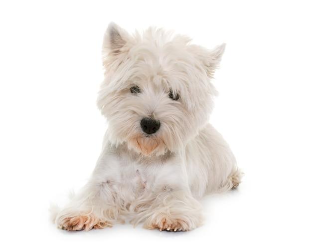 Terrier branco de montanhas ocidentais Foto Premium