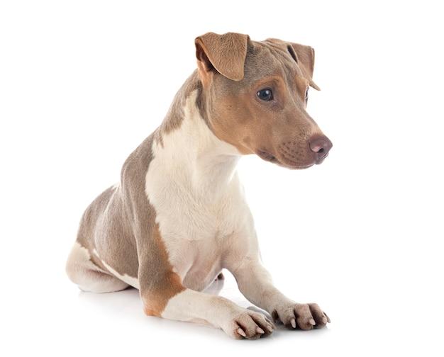 Terrier brasileiro Foto Premium