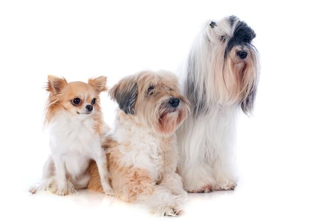Terriers tibetanos e chihuahua Foto Premium