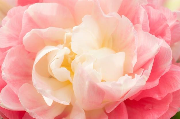 Terry tulipa rosa branca. foco seletivo macro. flor, fundo, cima Foto Premium