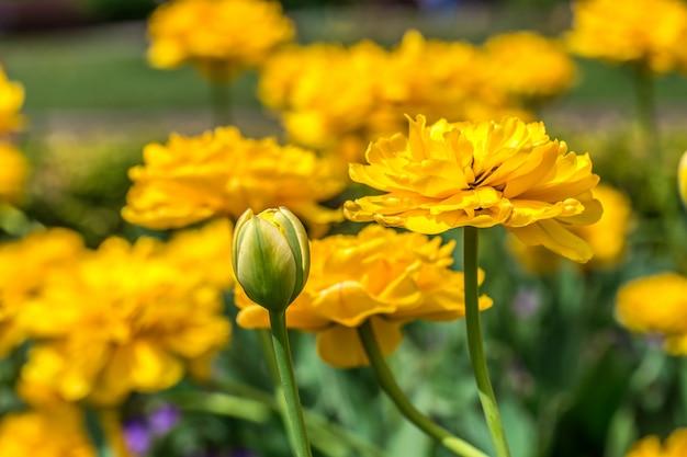 Terry tulipas amarelas no canteiro Foto gratuita
