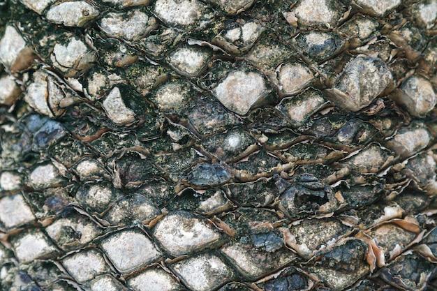 Textura da casca de palmeira. belo padrão de casca. fechar-se. Foto Premium