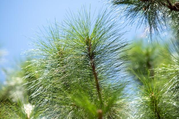 Textura de arbusto de pinheiro Foto Premium