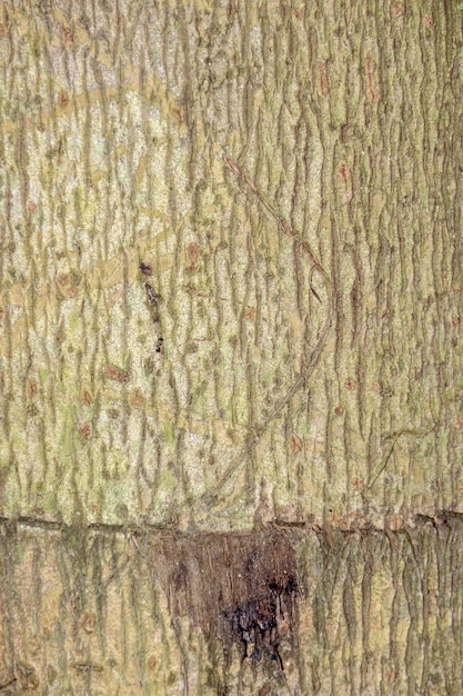 Textura de casca de árvore para plano de fundo Foto Premium