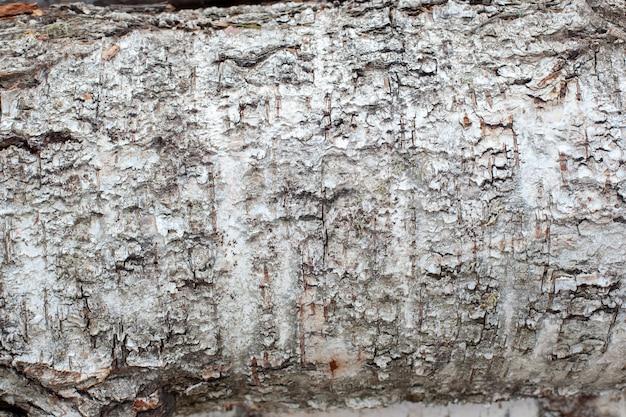 Textura de casca de bétula branca, derrubada na floresta Foto Premium