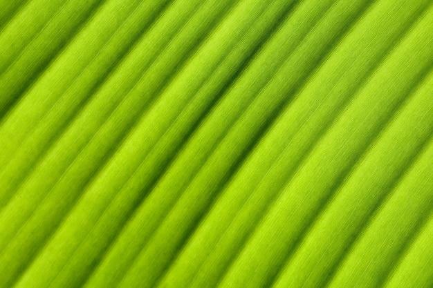 Textura de folha de bananeira Foto Premium