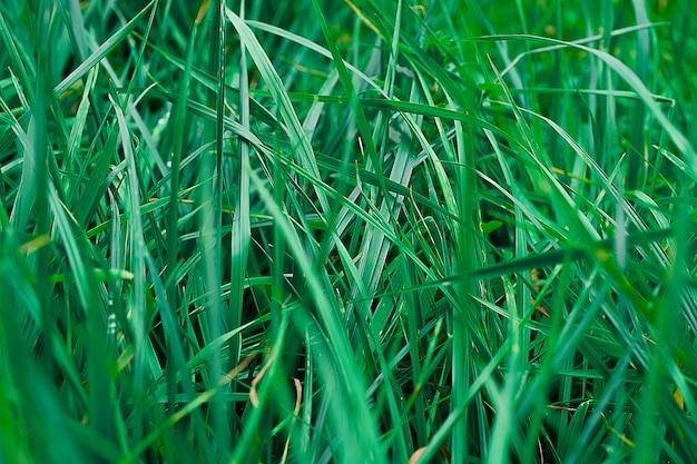 Textura de grama verde verão. Foto Premium