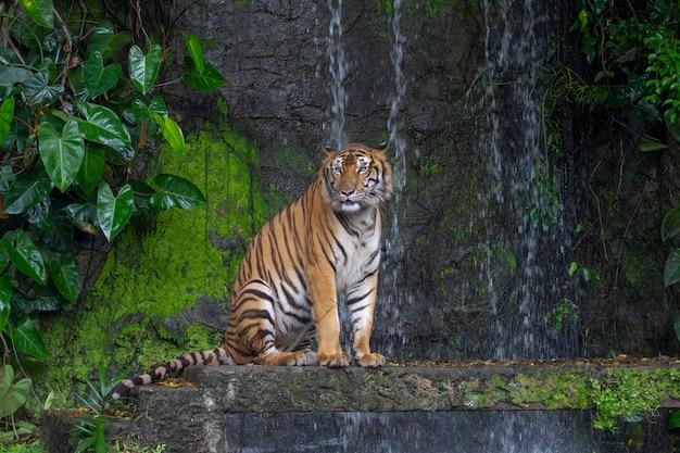Tiger sentar na frente da cachoeira Foto Premium
