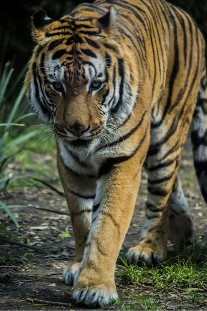 Tigre ambulante na grama Foto gratuita