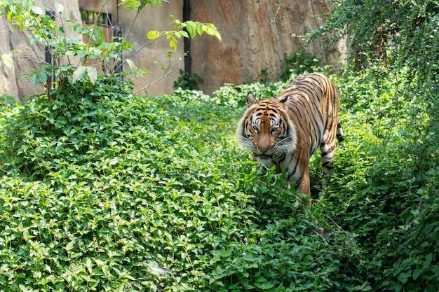 Tigre andando na floresta, casa do tigre Foto Premium