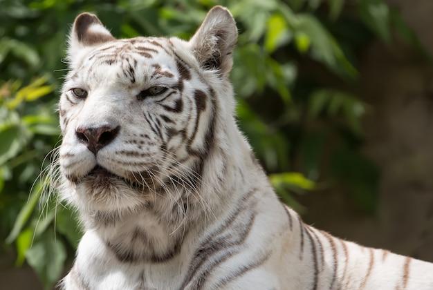 Tigre bengalensis branco close-up retrato Foto Premium