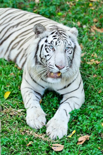 Tigre branco Foto Premium