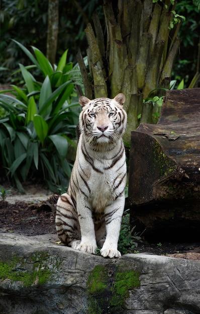 Tigre de bengala branco sentado Foto Premium