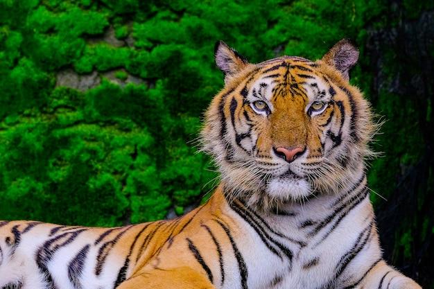 Tigre de bengala descansando perto de musgo verde dentro do zoológico da selva Foto Premium