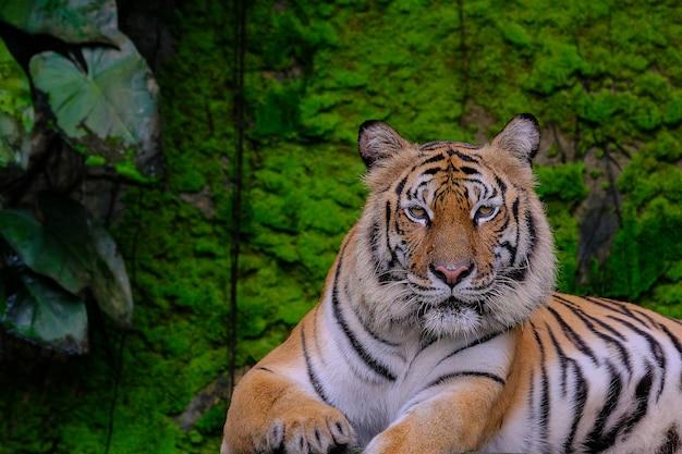 Tigre de bengala na floresta mostra cabeça e perna Foto Premium
