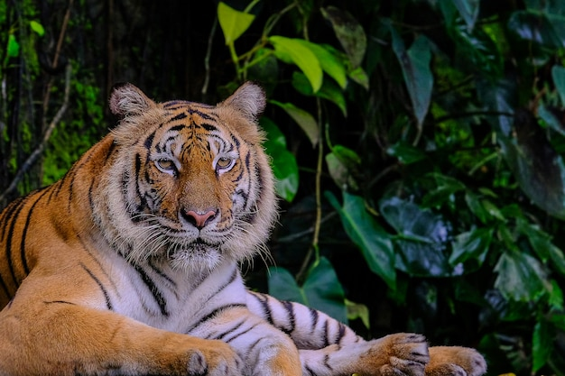 Tigre de bengala na floresta mostrar a cabeça e as pernas Foto Premium