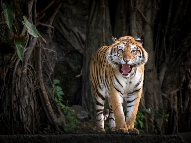 Tigre de sumatra em pé em uma atmosfera de floresta. Foto Premium