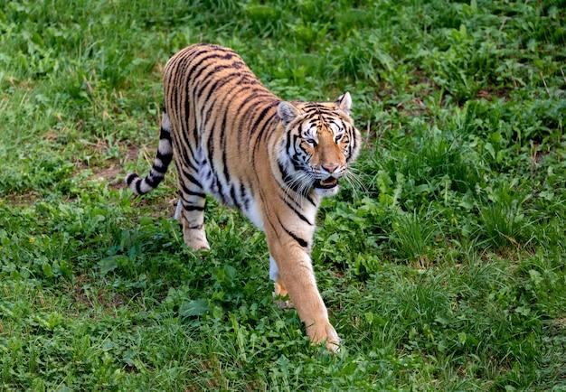 Tigre incrível Foto Premium