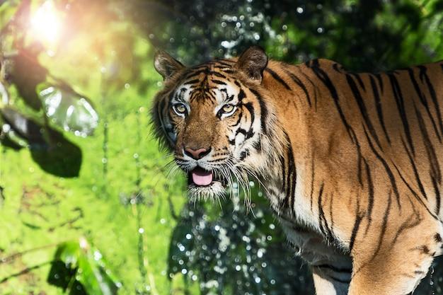 Tigre na selva Foto Premium