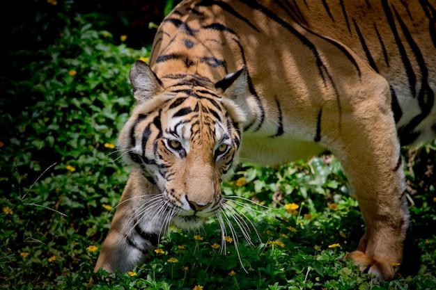 Tigre preto e branco olhando sua presa e pronto para pegá-lo. Foto Premium