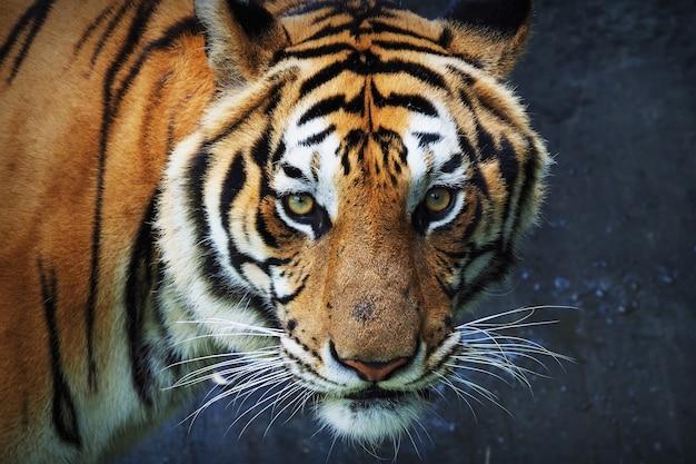 Tigre que olha para a frente Foto gratuita