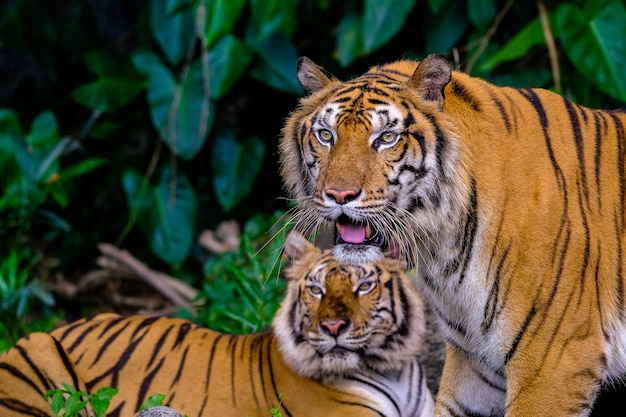 Tigre retrato de um tigre de bengala na tailândia Foto Premium