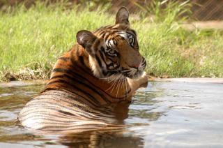 Tigre selvagem Foto gratuita