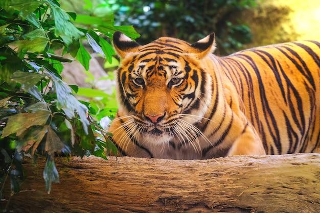 Tigre siberiano Foto Premium