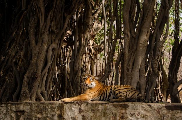 Tigre solitário sentado perto das raízes das árvores e relaxar na selva Foto gratuita