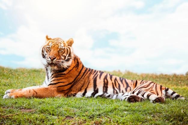 Tigre Foto gratuita