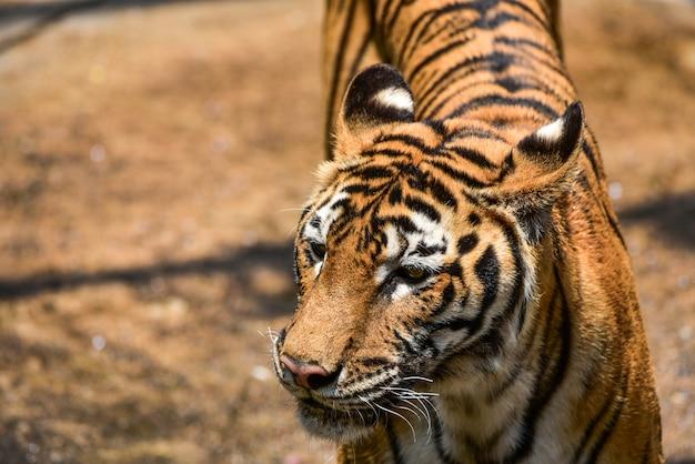 Tigre Foto Premium