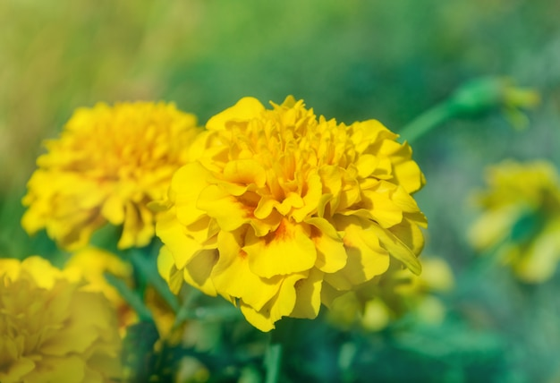 Tipo de anêmona de calêndula amarelo francês Foto Premium