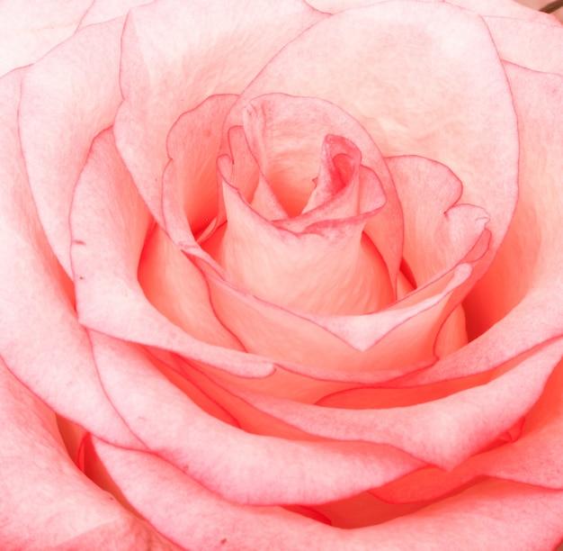 Tiro bonito do close up de uma rosa cor-de-rosa Foto gratuita