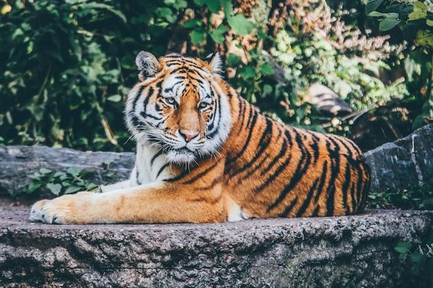 Tiro de amplo foco seletivo de um tigre laranja em uma superfície rochosa Foto gratuita