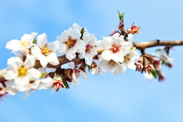 Tiro de foco seletivo de um galho de uma árvore de cereja com lindas flores brancas desabrochadas Foto gratuita