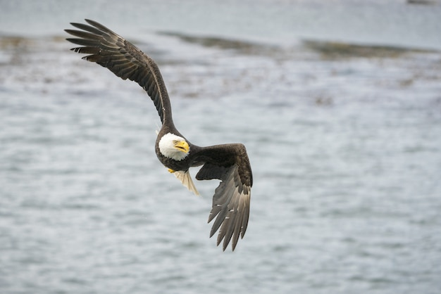 Tiro de foco seletivo de uma águia voando livremente sobre o oceano à procura de uma presa Foto gratuita