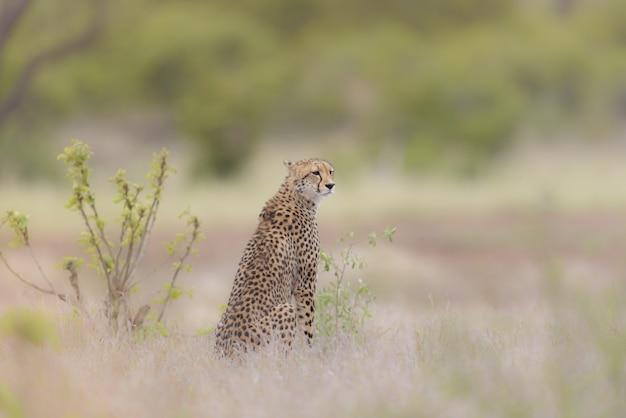 Tiro de foco seletivo de uma chita, sentado em um campo gramado seco, olhando ao redor Foto gratuita