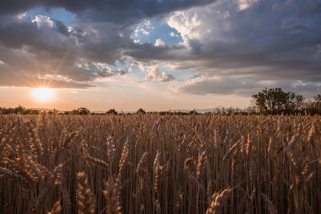 Tiro horizontal de um campo de espiga de trigo no momento do pôr do sol sob as nuvens de tirar o fôlego Foto gratuita